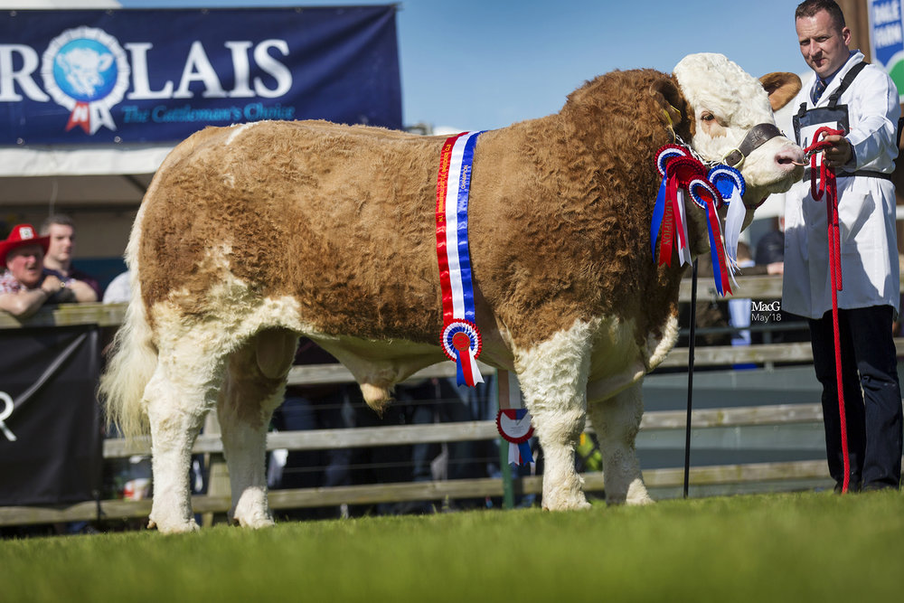 'Impeccable' win for Ranfurly  in Balmoral Simmental ring By Julie Hazelton