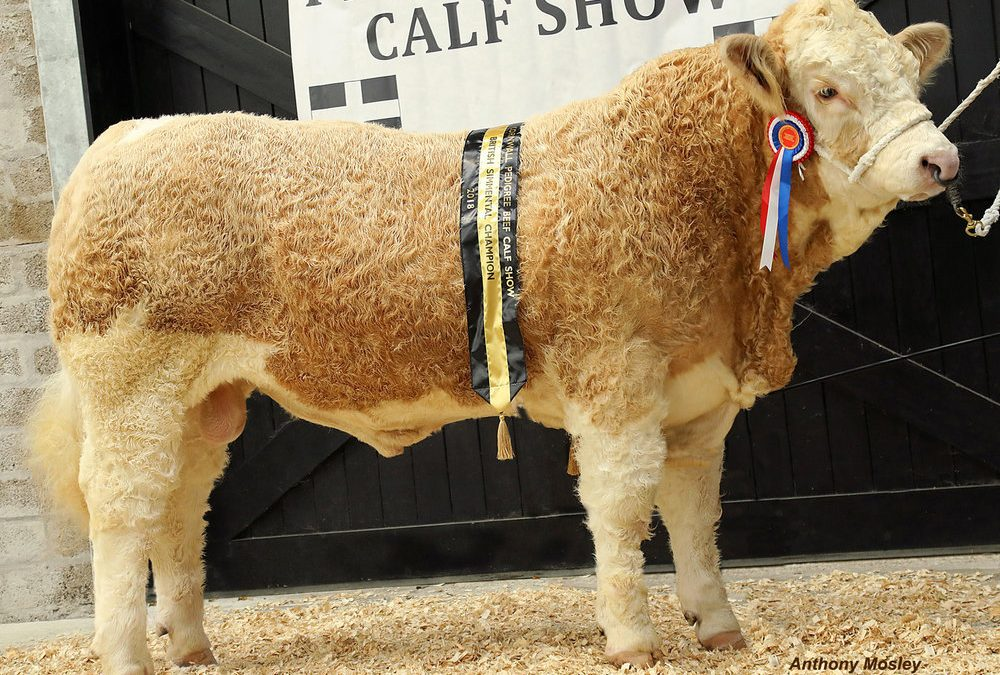 Cornwall Pedigree Calf Show Sunday 28th October 2018 Results British Simmental Section