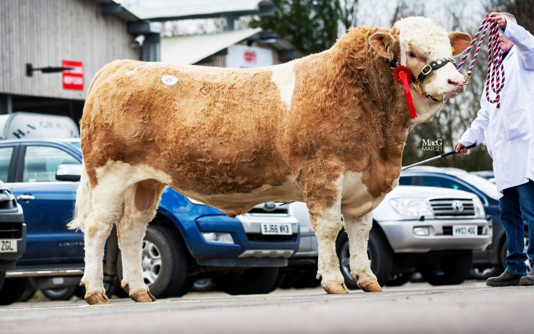 CADE KOLOSSAL LEADS MELTON MOWBRAY SIMMENTAL SALE AT 3000GNS