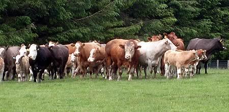 Stock on the Hamilton farm