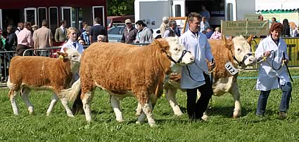 David, Nikky and Hannah Field with three of their pedigree Simmental herd, class winners at the North Somerset Show May 2011