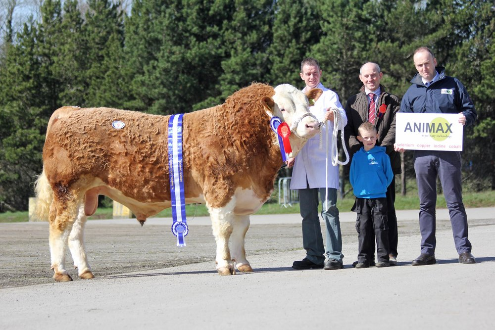 Reserve male and reserve supreme champion was Hiltonstown Giles exhibited by Richard and Rhys Rodgers from Portglenone. Adding their congratulations are judge Frank Kelly, Tempo; and sponsor Neill Acheson, Animax.