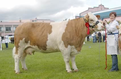 The first prize junior cow and reserve female champion was Ranfurly Weikel 3rd, owned by David Hazelton, Dungannon.