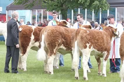 Judge, Gerard Brickley, Portlaoise, places the junior Simmental heifer class