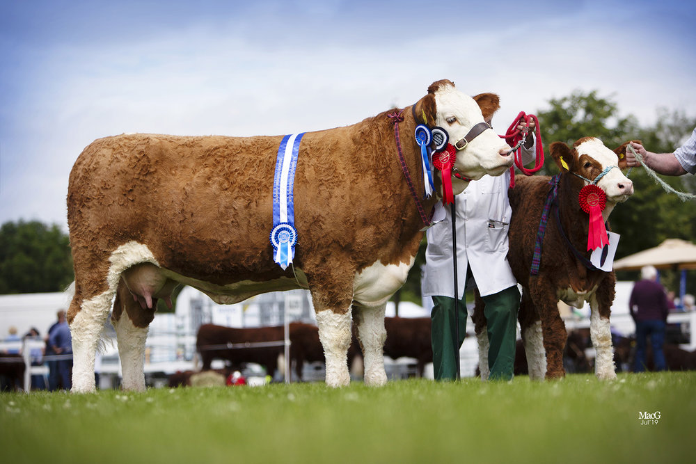 Female and reserve supreme champion was the Hazelton family's Ranfurly Weikel 18th shown with heifer calf at foot.