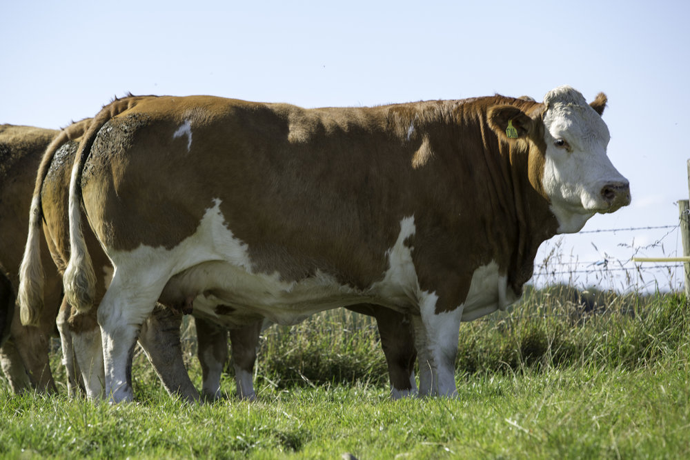 Redhill Maisie purchased by Andrew Anderson, Smallburn Farms, Plewlands, Duffus, Moray for 2900gns