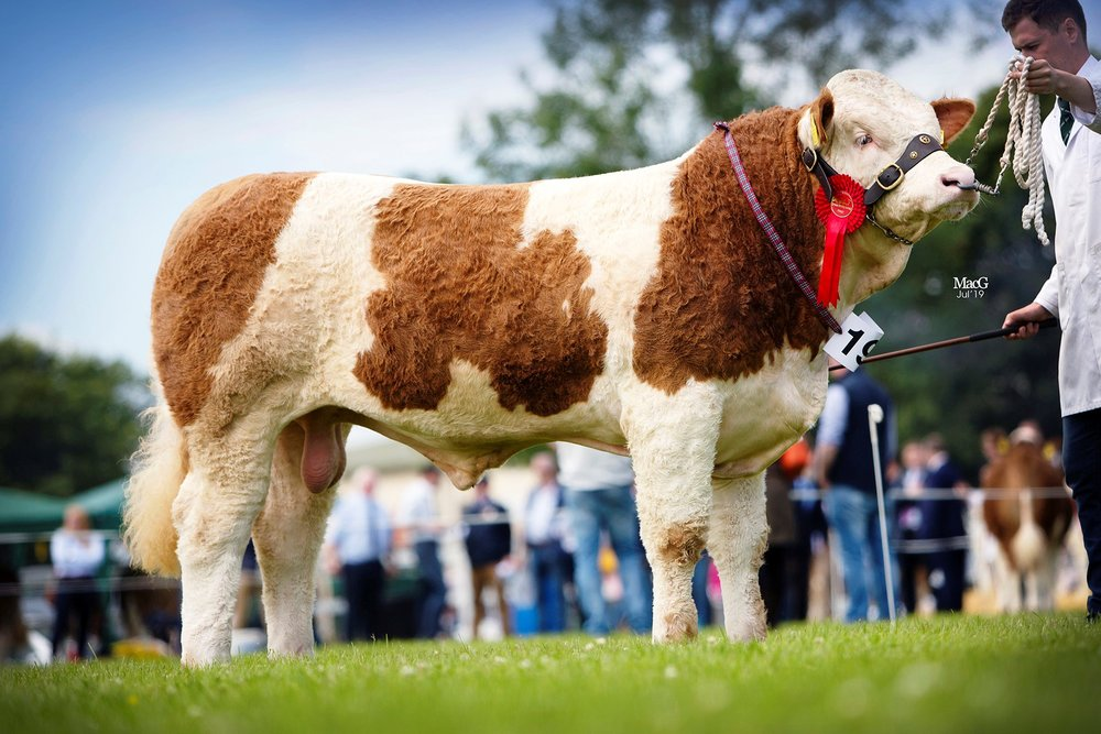 Shane and Paul McDonald's Coolcran Jameson was a junior bull class winner at the NI National Simmental Show.