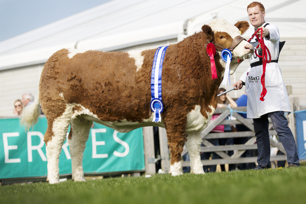 Lisglass Fabulous - Reserve Supreme,Reserve Female & NI Simmental Club Silver Award for the Best Exhibit bred in Northern Ireland .