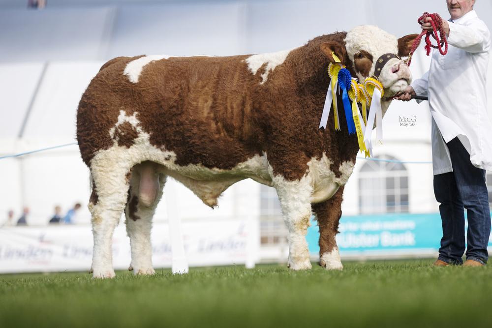 Bridgewater Farm Gilroy - Reserve Male Champion