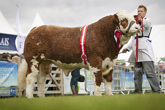 Male and supreme overall champion was the senior bull Dermotstown Del Boy ET from Leslie and Christopher Weatherup, Ballyclare.