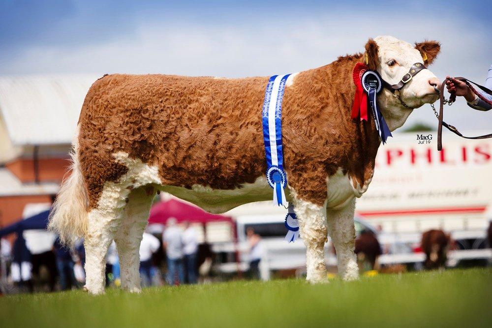 Cleenagh Jessica, owned by Julie Stinson, Enniskillen, was the winner of the junior heifer class.