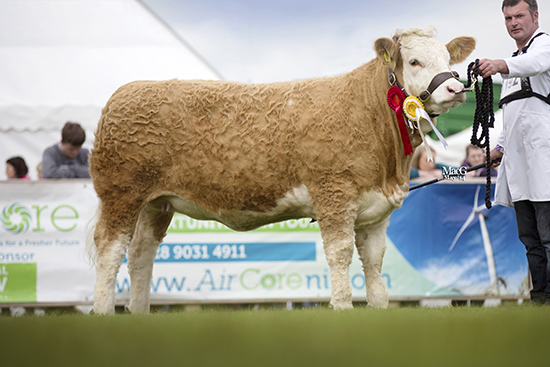 Reserve female and reserve junior champion was Ballinlare Farm Empress bred by Joe Wilson, Newry.