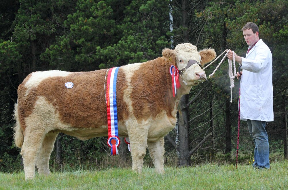 Female and supreme overall champion at the NI Simmental Club's autumn show and sale was Magheracrigan Iris exhibited by Allen Shortt, and owned by Wesley Abraham, Irvinestown.