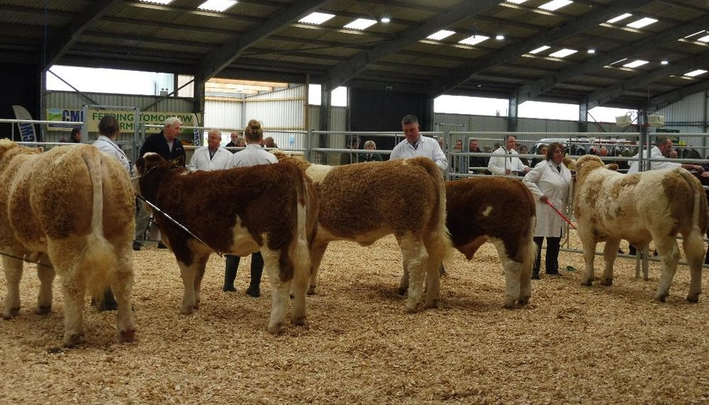 Final line up for Simmental Championship Calf Show 2018