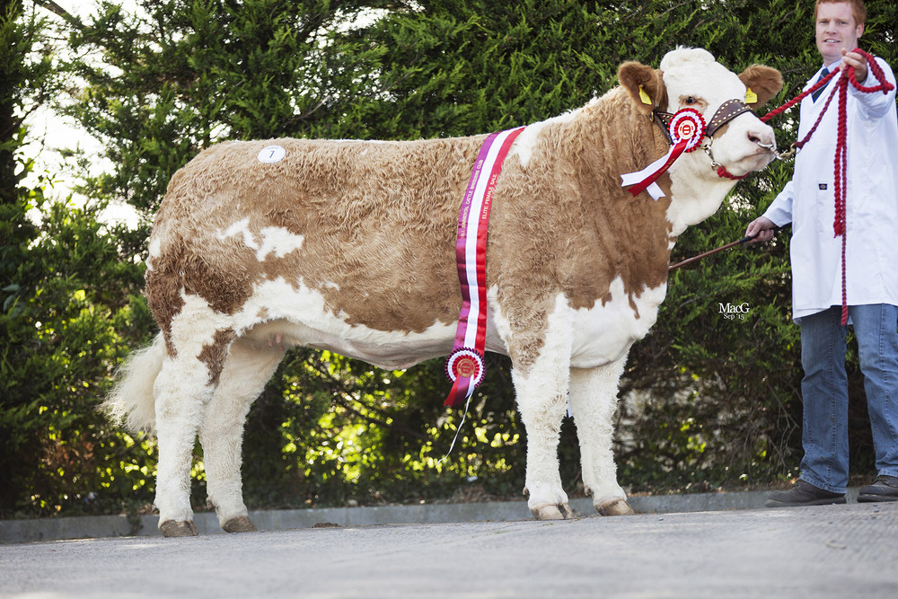 Supreme champion Lisglass Emerald attracted a top bid of 6,600gns at the NI Simmental Club's 45th Anniversary elite female show and sale.