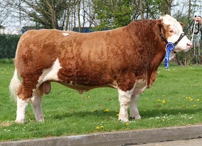 Lot 51 - Reserve Champion Blakewell T Bone bred by I & M Steele and purchased for 2,000gns by Mr Garthwaite, Wakefield. Sire: Blakewell Rock Star Dam: Blakewell Fiona's Judith