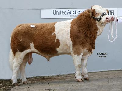 3rd Top Price bull Falondene Talisker 4,500gns Bred by Messrs J A & K J Dwyer Sire Popes Juggernaught Dam Falondene Graceful 5th