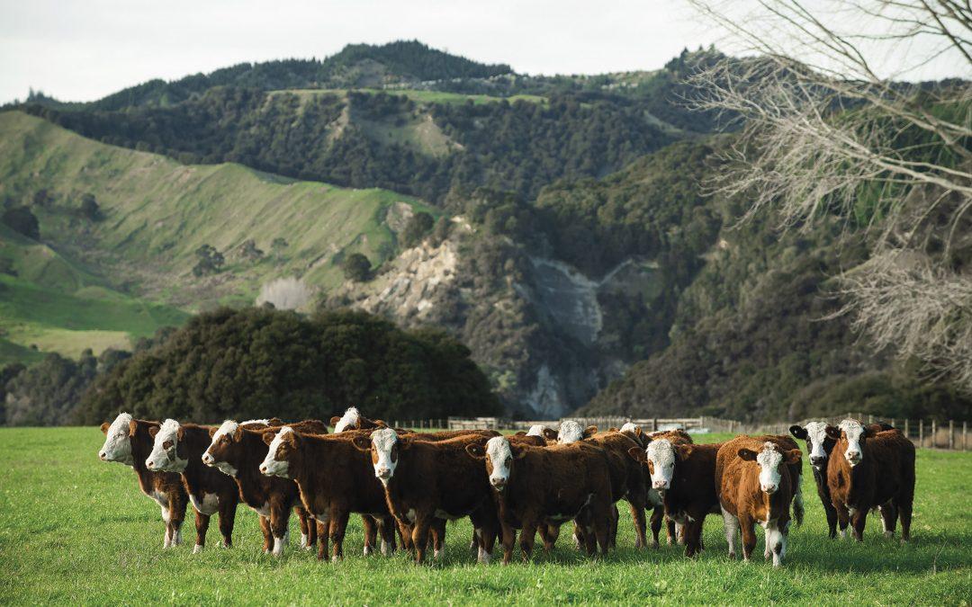 The Money Maker Breed In New Zeland