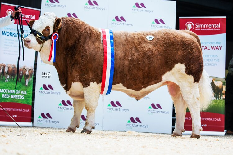 7000GNS GRANGEWOOD KEEGAN LEADS THE DEMAND FOR SIMMENTAL BULLS AT WORCESTER