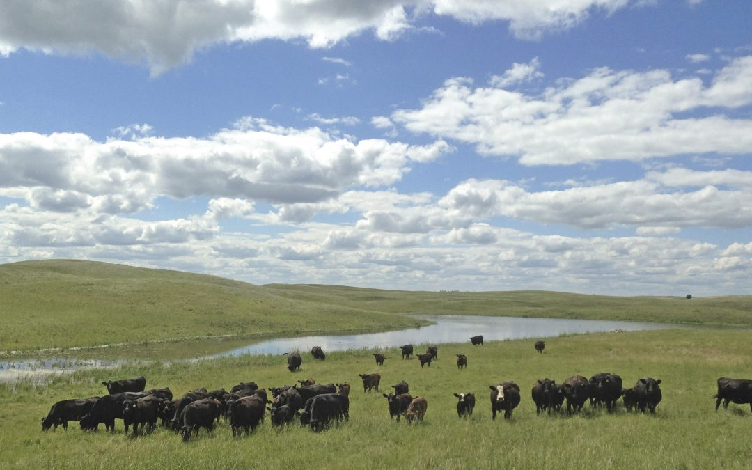 Making a Significant Genentic Contribution to the US Beef Industry