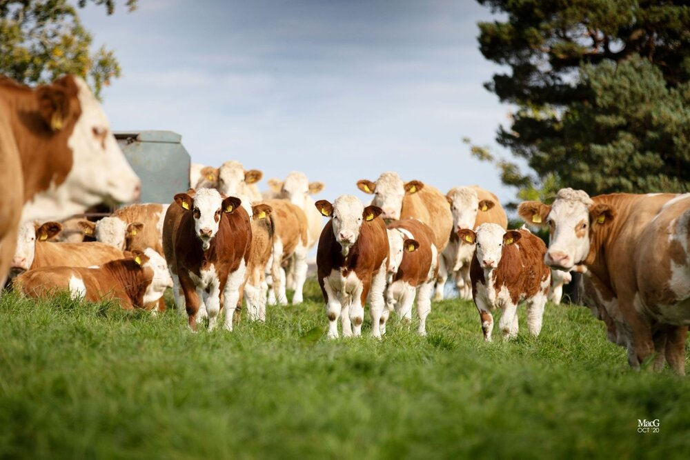 NEW SIMMENTAL 'NEXT GENERATION' SALE SCHEDULE NOW OUT!