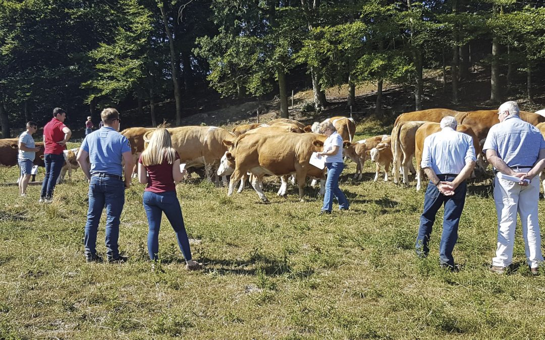 Snapshot Profile of Dansk Simmental and the Breed in Denmark