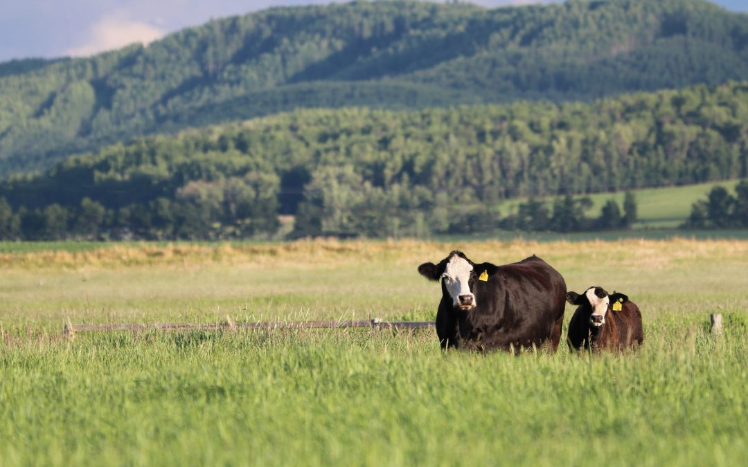 Simmentals the Continental Breed of Choice in Canada