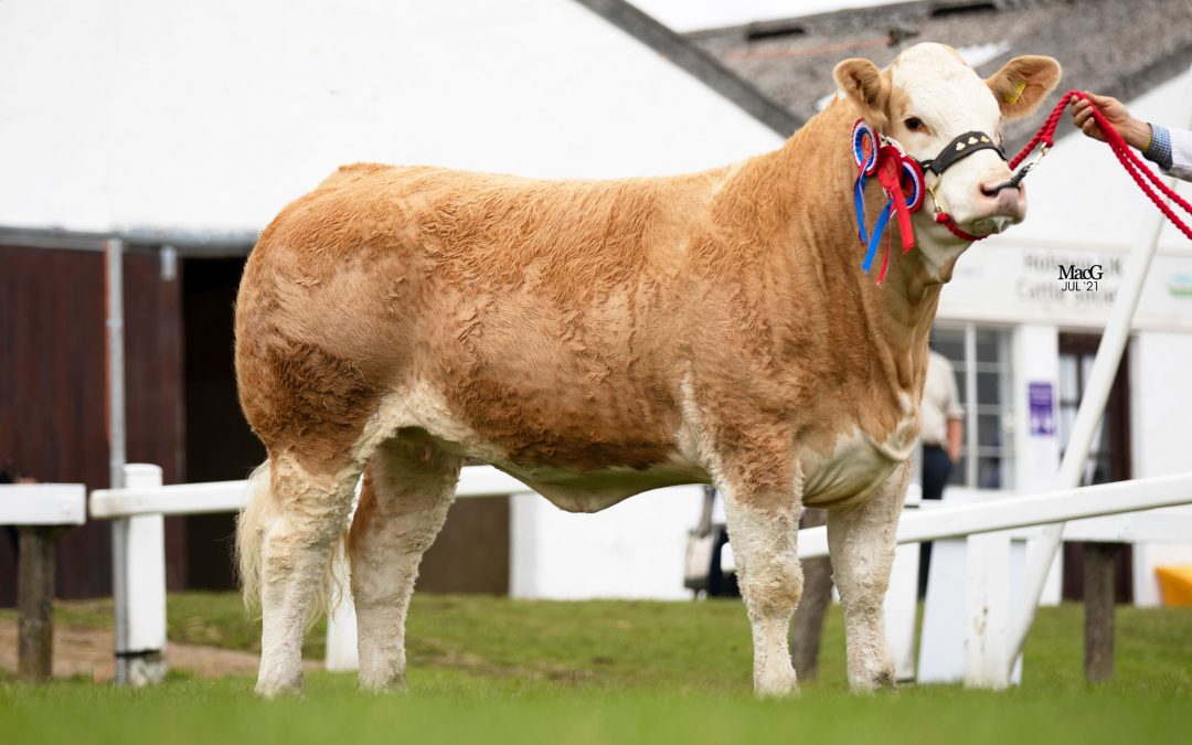 HEATHBROW KOKO STAR (P) WINS THE OVERALL SIMMENTAL SUPREME AT THE GREAT YORKSHIRE SHOW