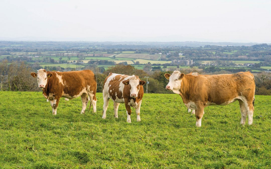 Simmentals Fitting Into Organic, Low Cost System In West Wales