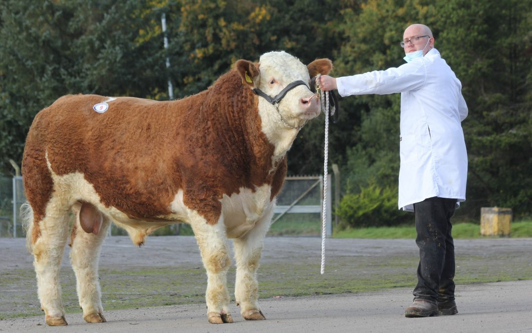WELLBRAY SIMMENTAL BULL SELLS TO 3,500GNS AT DUNGANNON