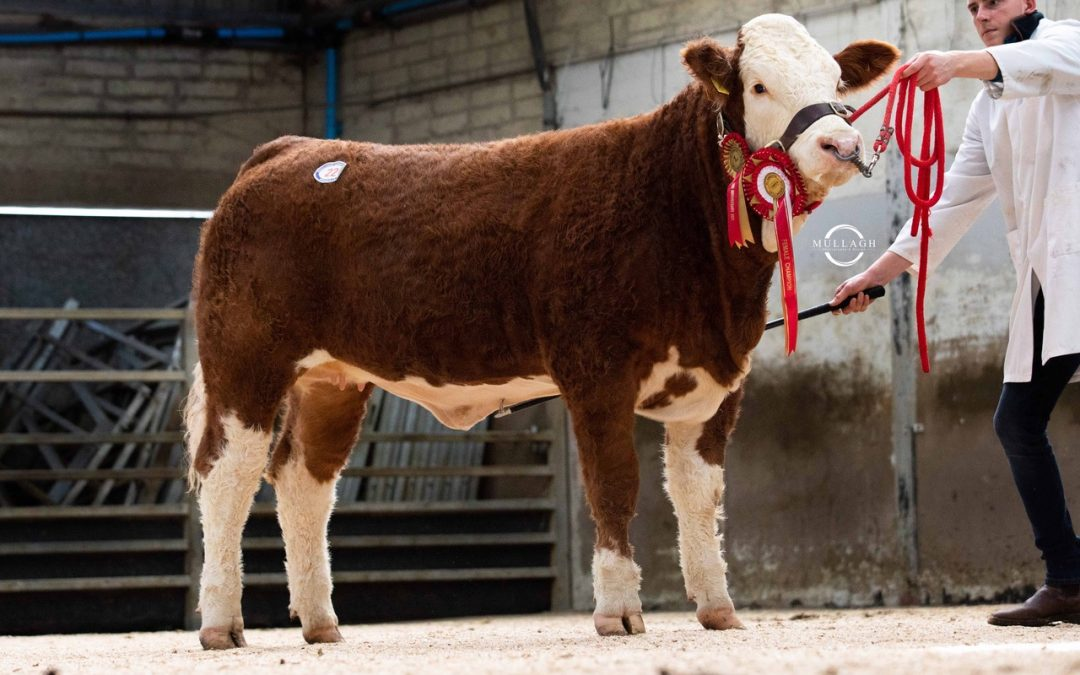 5400GNS RANFURLY HEIFER LEADS 'SIMMENTAL SPECTACULAR' SALE AT DUNGANNON